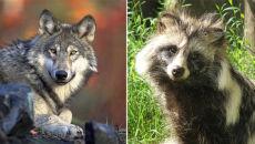 Pomylili wilka z jenotem. Zastrzelili chronione zwierzęta