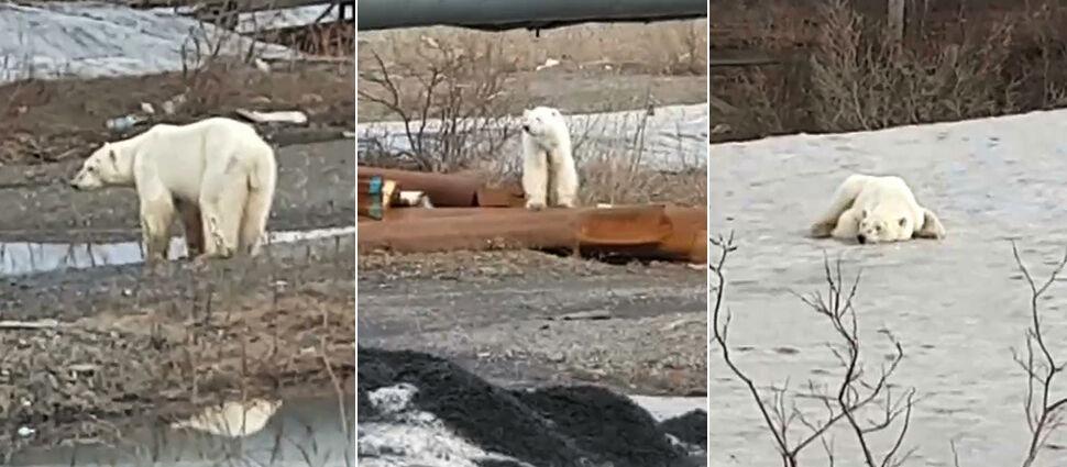 Przeszedł 1500 kilometrów. Wygłodzony niedźwiedź polarny dotarł do Norylska