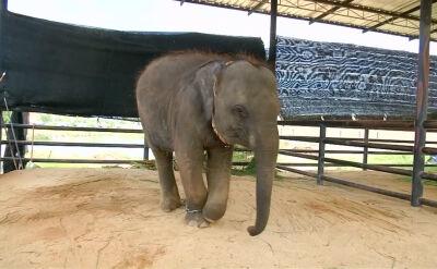 Fa Jam. Trzyletnie słoniątko z protezą