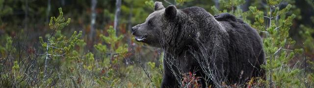 Niedźwiedź zaatakował Polaków  w Armenii. Nie żyje 33-latek