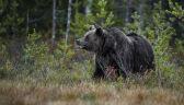 Niedźwiedź zaatakował Polaków w Armenii