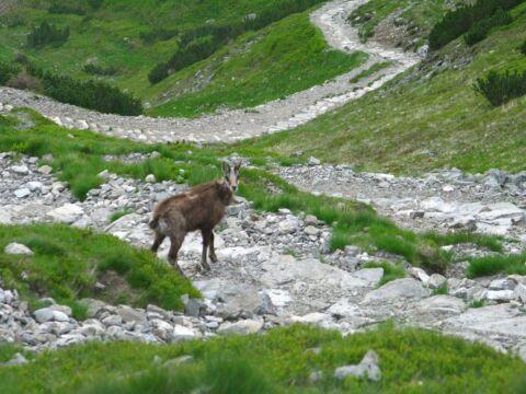 Wiosenne liczenie chronionych zwierząt wykazało, że Tatry zamieszkują 963 kozice