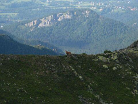 Liczba kozic w Tatrach stale się waha