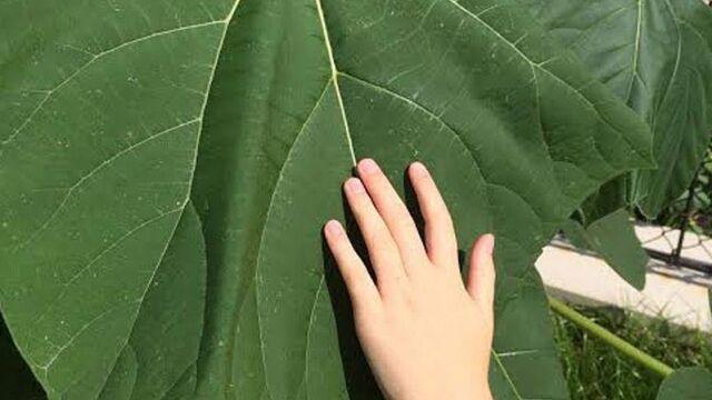 Drzewo doskonałe czy zagrożenie? Tysiące sadzonek rosną, pytania zostają bez odpowiedzi