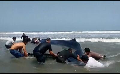 Dziesięć metrów i ponad 6 ton. Ratunek dla wieloryba wyrzuconego na brzeg