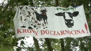 Krowy z Ciecierzyc