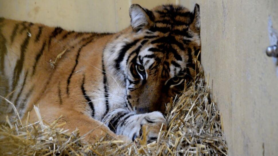 Tygrysy jednak pojadą do Hiszpanii. Zoo: jest zgoda Ministerstwa Klimatu