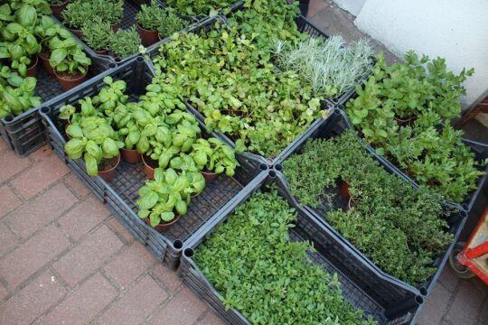 Można kupić świeże zioła