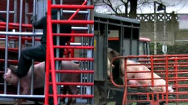 O znęcanie się nad zwierzętami oskarżonych było dwunastu pracowników ubojni, skazano dwóch