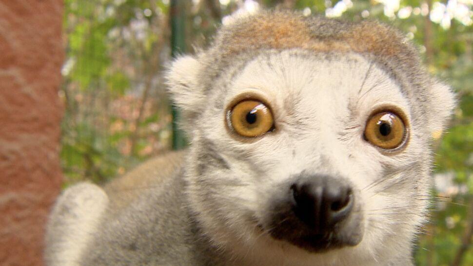 Rodzina lemurów zamieszkała we Wrocławiu. Jedyna taka w Polsce