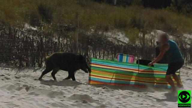 """Dzik wypłynął z morza. """"Taranował ludzi na plaży, wbijał kły"""""""