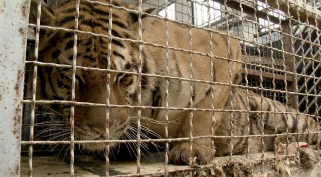 Tygrysy utknęły na granicy z Białorusią. W ciągu doby mają trafić do Poznania