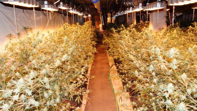 Marihuana warta ponad milion w stodole