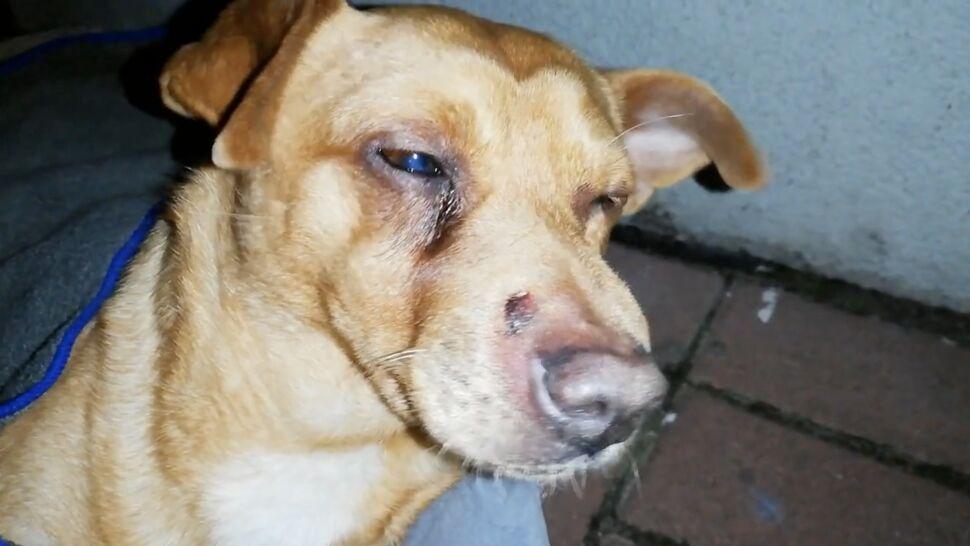 Skatowany pies znaleziony w szopie. Ktoś do niego strzelał i bił tępym narzędziem