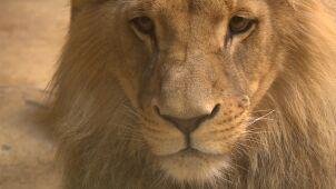 Strażnicy lwów