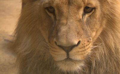 Tanzania prowadzi program ochrony lwów