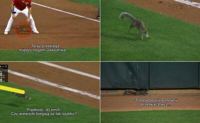 Szybka wiewiórka wbiegła na boisko i rozproszyła baseballistów