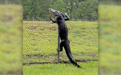 Nie zatrzymało go dwumetrowe ogrodzenie. Aligator pokonał płot