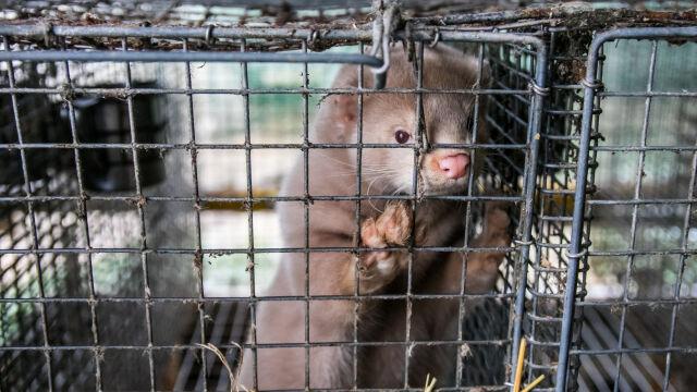 PiS chce zakazu hodowli zwierząt futerkowych. Pod projektem podpis Kaczyńskiego