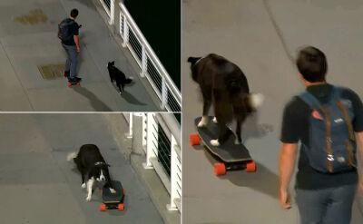 Pies na deskorolce. Odpycha się od asfaltu prawą tylną łapą