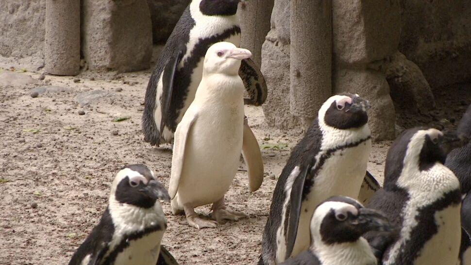 Albi, Bianka, Białka, Kokosanka lub Śnieżynka. Propozycje imion dla jedynej pingwinicy albinoski