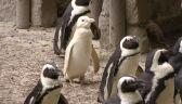 Konkurs na imię dla pingwina albinosa