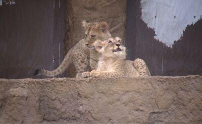 Cztery lwy przyszły na świat w gdańskim zoo