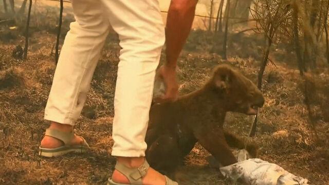 Przeraźliwy płacz koali. Zwierzątko ofiarą pożarów w Australii