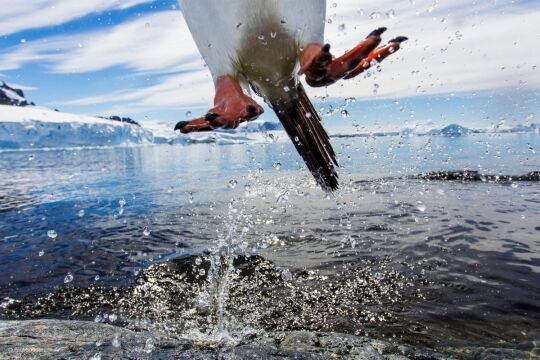 'Leaping Gentoo Penguin' Paul Souders, USA