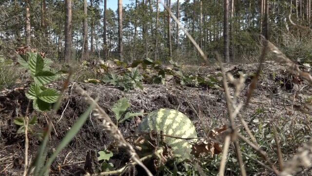 W środku lasu na Dolnym Śląsku wyrósł arbuz