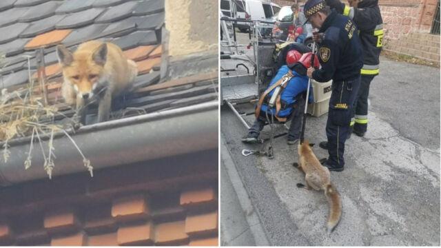 Lis utknął na dachu budynku