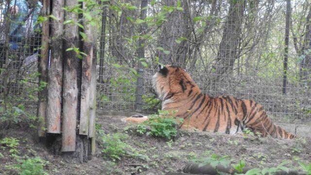 Dźgał tygrysa kijem. Skazany na miesiąc więzienia