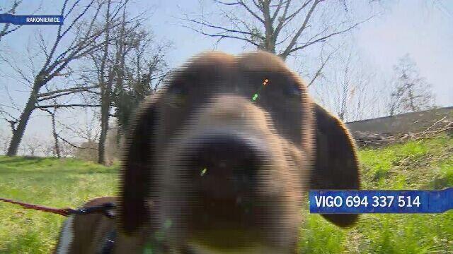 Vigo - eksplozja wigoru
