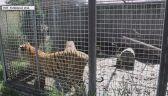 """Nielegalna hodowla zwierząt pod Śremem. """"Zwierzęta przebywały na małych powierzchniach"""""""