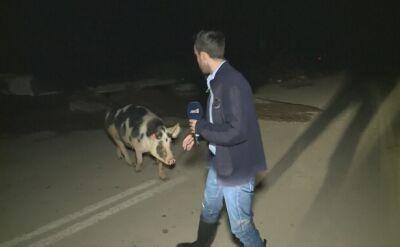 """""""Mamy pewien problem. Jest tutaj świnia, która nas goni"""""""