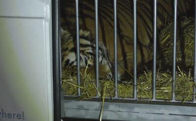 Konwój z tygrysami przed północą przekroczył granicę z Niemcami