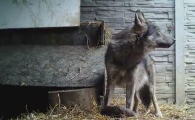 Młody wilk w trakcie rehabilitacji po potrąceniu