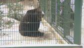 Niedźwiedzica jest w dobrej kondycji jak na swoje lata