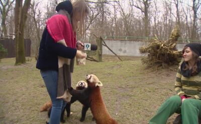 Poznań: Wylicytuj karmienie pandek rudych