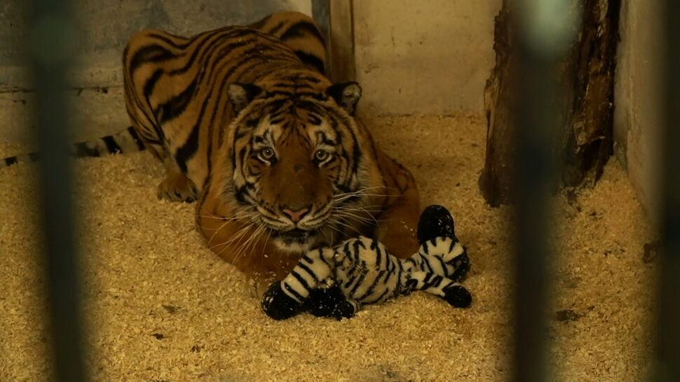 Wzajemne oskarżenia w sprawie transportu tygrysów