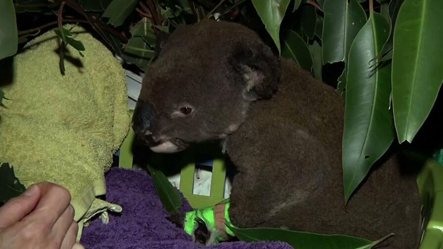 Pożary w Australii. Żywioł zdziesiątkował populację misiów koala