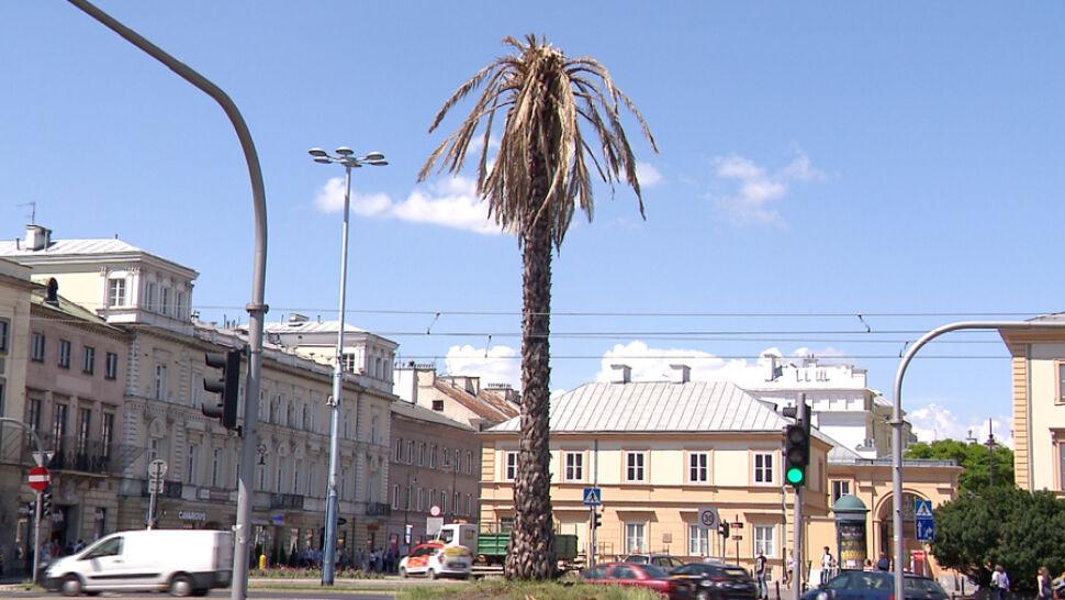 Uschnięte liście na warszawskiej palmie. Nie bez powodu