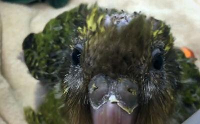Lekarze przeprowadzili operację mózgu papugi. Gatunek jest zagrożony wyginięciem