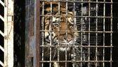 Transport 10 tygrysów zatrzymany na granicy polsko-białoruskiej. Piekło zwierząt
