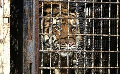 Tygrysy zatrzymane na granicy