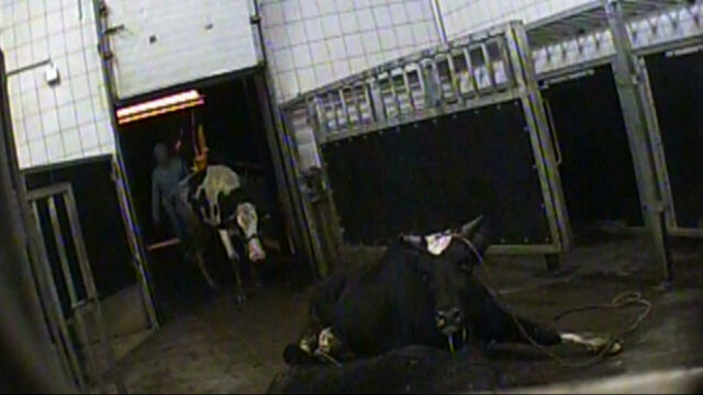 """Consumer concerns about food safety have increased after an undercover reporter from """"Superwizjer"""" TVN got a job in a slaughterhouse in an undisclosed area in Poland's Masovian region where he was ordered to kill cows and butcher their meat"""