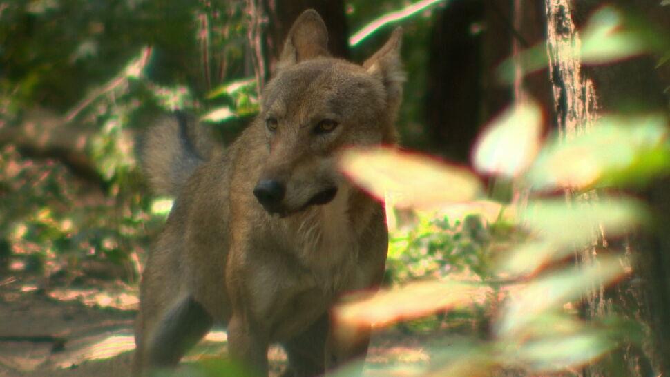 Mieszkańcy Mosiny narzekają na wilki. Burmistrz chce zamknąć zwierzęta w zoo