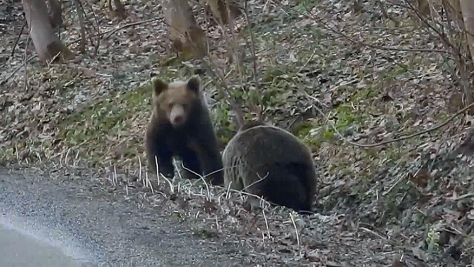 Niedźwiedzie obudziły się ze snu zimowego. Leśnicy pokazali nagranie