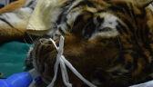 Zoo w Poznaniu walczy o życie jednego z uratowanych tygrysów