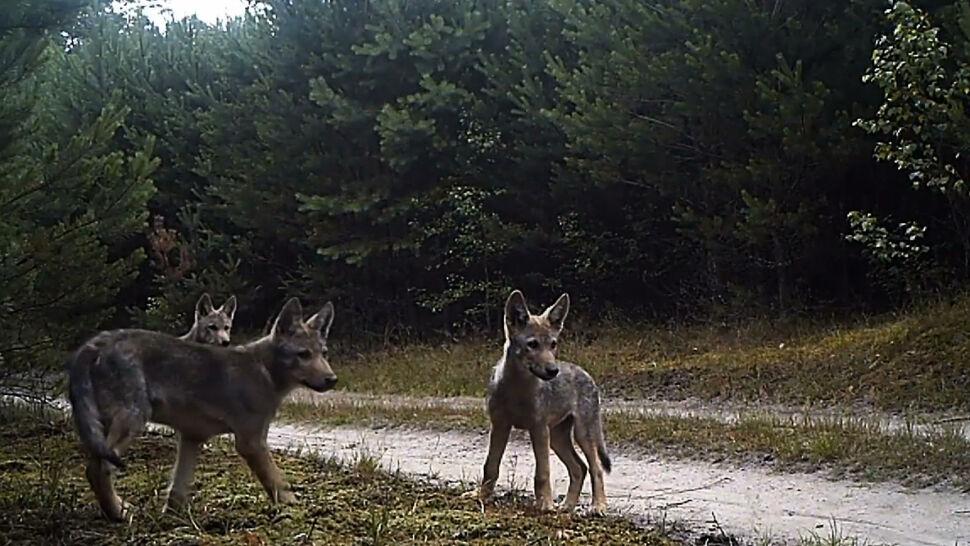 Polski Związek Łowiecki promuje konkurs fotograficzny zdjęciem zabitego wilka